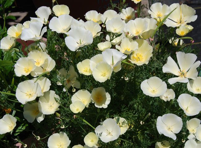 White California Poppy Seeds (Eschscholzia californica alba) + FREE Bonus 6 Variety Seed Pack - a $30 Value!