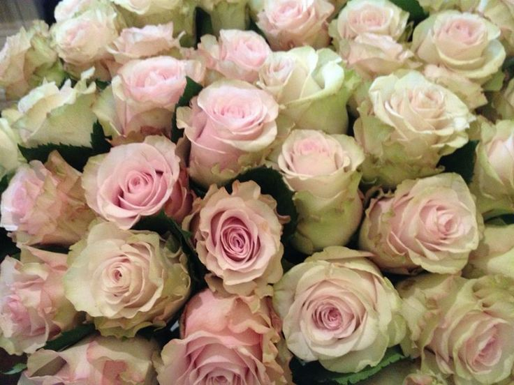 17 best images about rose varieties on pinterest peach rose pink garden and wild orchid - Rose cultivars garden ...