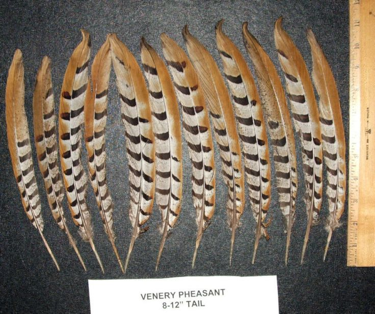 """Rare & hard to find Venery Pheasant tail feathers 8-12"""" length. Pack of 12 for $38.00 Free shipping w/in USA  Also available in other lengths in our ebay store. #pheasantfeathers #venerypheasant #pheasant #feathers #rare"""