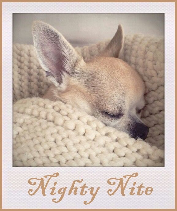 The Baby Chihuahua Is Going Nighty Nite Cute Chihuahua