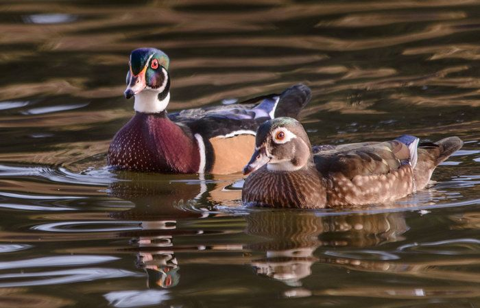 Wood Duck Duo by Wayne Wong on Capture Kern County // Jim Burrow helped me spot this pair of wood ducks...so beautiful!  Full size image on Flickr