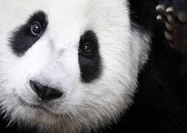 Bio Orbis: O que você não sabia sobre os pandas-gigantes