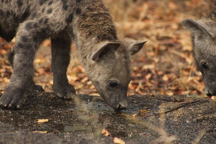 Our wildlife conservation spotted the hyena pups on the reserve this morning!