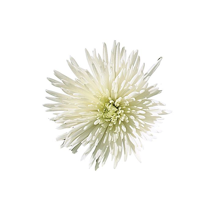 Brides.com: . Chrysanthemum. High-end flower shops often turn their noses at this common bloom. But in the hands of the right florist, mums can look quite lovely in centerpieces. And bonus: they're cheap!  Browse more chrysanthemum wedding flower ideas.