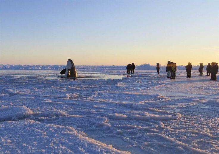 Στο Inukjuak, έξω από το Βόρειο Κεμπέκ μία φάλαινα δολοφόνος είναι παγιδευμένη στον πάγο. Ο δήμαρχος της πόλης, Peter Inukpuk , κάλεσε τις καναδικές αρχές για βοήθεια ώστε να απελευθερωθεί το θαλάσσιο θηλαστικό.