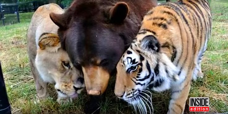 This lion, bear, and tiger trio are best friends, and the definition of #squadgoals
