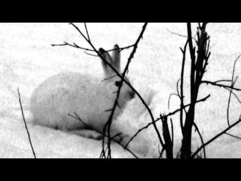 Metsäjänis / mountain hare