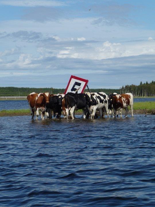 Kogrundet i Rinneln är ett sant nöje att passera om sommaren. Lite norrländsk safari. Efter Bergöbron med kajak eller båt tar man sig förbi kossor som betar på området vid Umeälven Umeå.  www.facebook.com/umealven för mer tips att göra i Umealvens Delta. Välkommen!