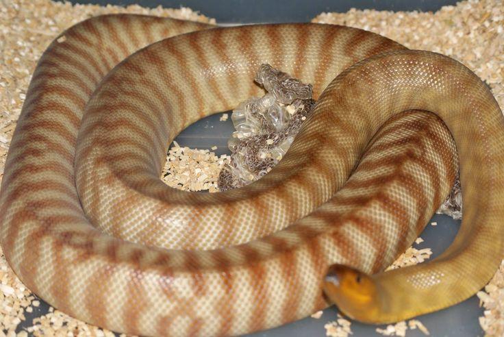 Tanami Woma Python by Jenbert Pythons
