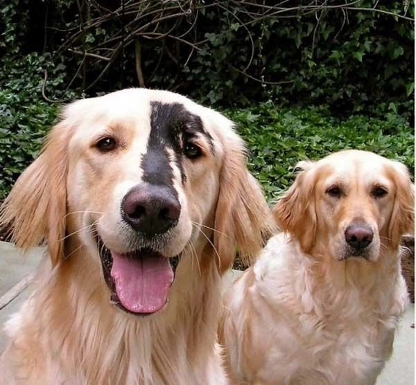 Golden Retrievers and Yellow Labradors sometimes get this genetic mutation in their coat color.  19 Unusual Dog Breeds And Markings Will Make You Fall In Love.