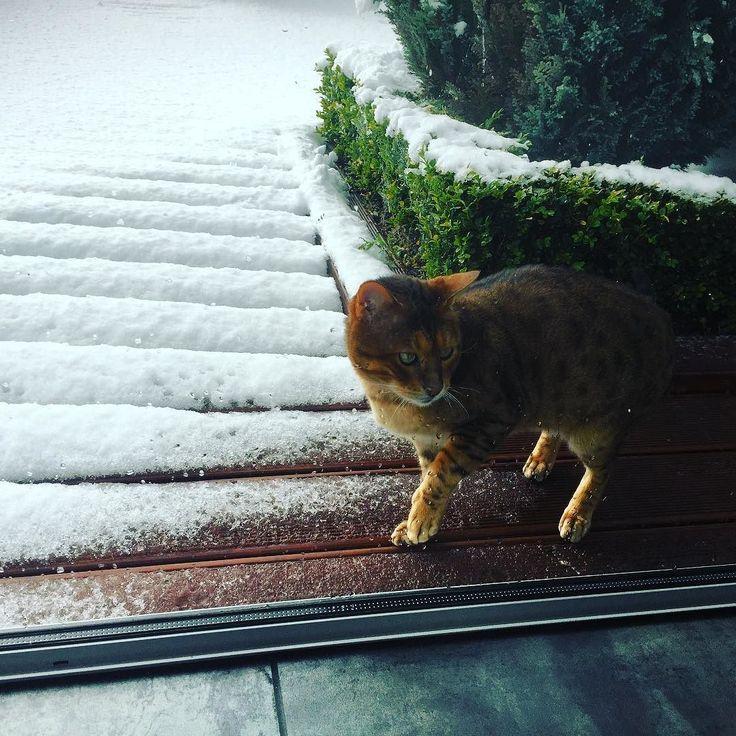 Not sure about this snow  stuff! #winterishere #calmlittlefarm #otago #clutha #weather #frasierthebengal #bengalsofinstagram #catsofinstagram
