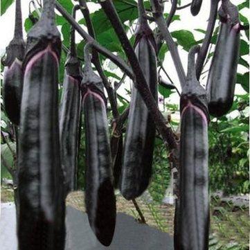 Favorable 50pcs Long Eggplant Seeds Vegetable Seeds Garden Decoration Bonsai Plant - NewChic Mobile