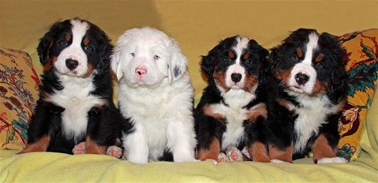 white bernese mountain dog puppy among siblings