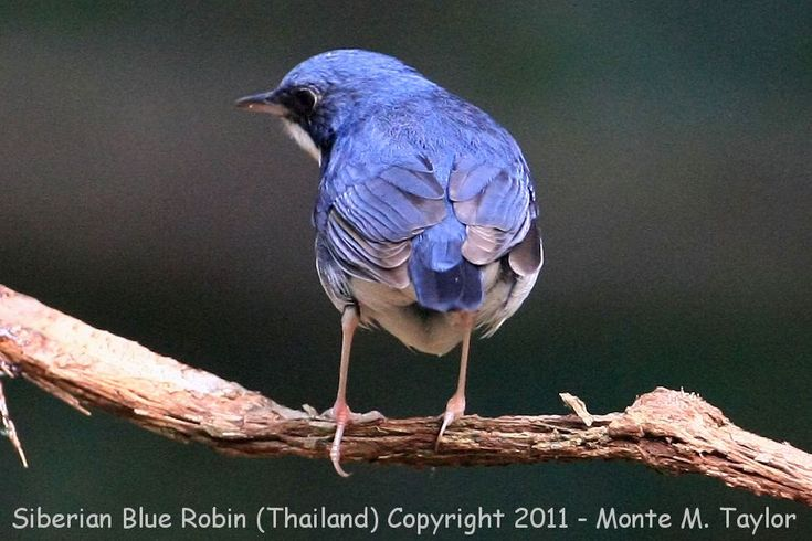 Siberian Blue Robin -winter male- (Kaeng Krachan National Park, Petchaburi, Thailand)