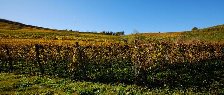 Il vitigno #Pelaverga  All'inizio di ottobre, a Verduno CN #ITALY, si vendemmia un'uva da un antico vitigno autoctono