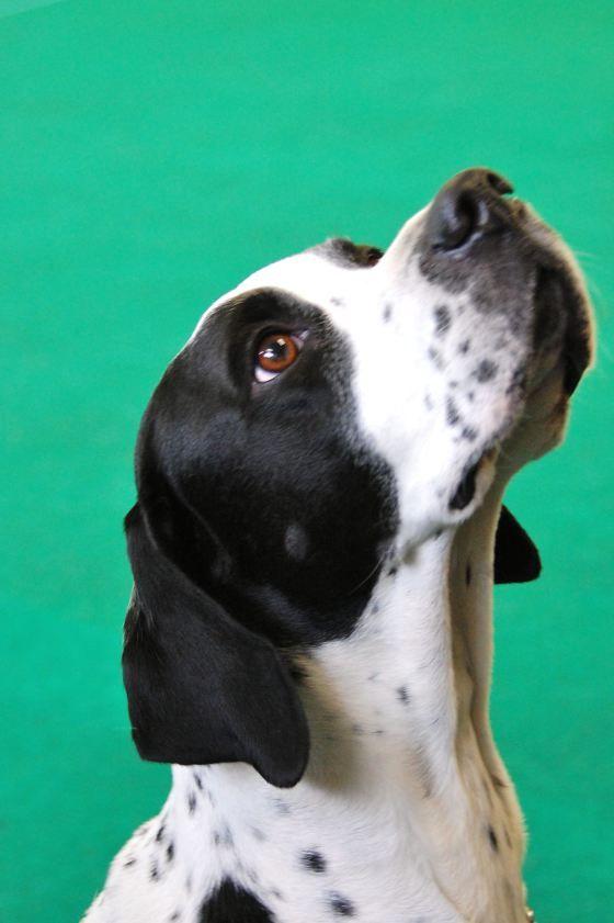 English Pointer http://www.animalplanet.com/breed-selector/dog-breeds/sporting/pointer.html