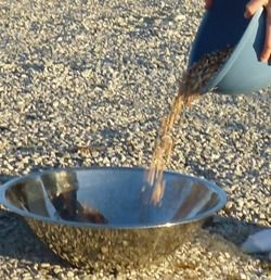 Winnowing the chaff from corn on a windy day