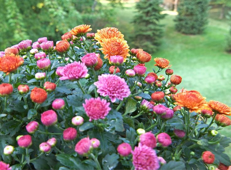 November birth month flower and its meaning, chrysanthemum, from The Old Farmer's Almanac.