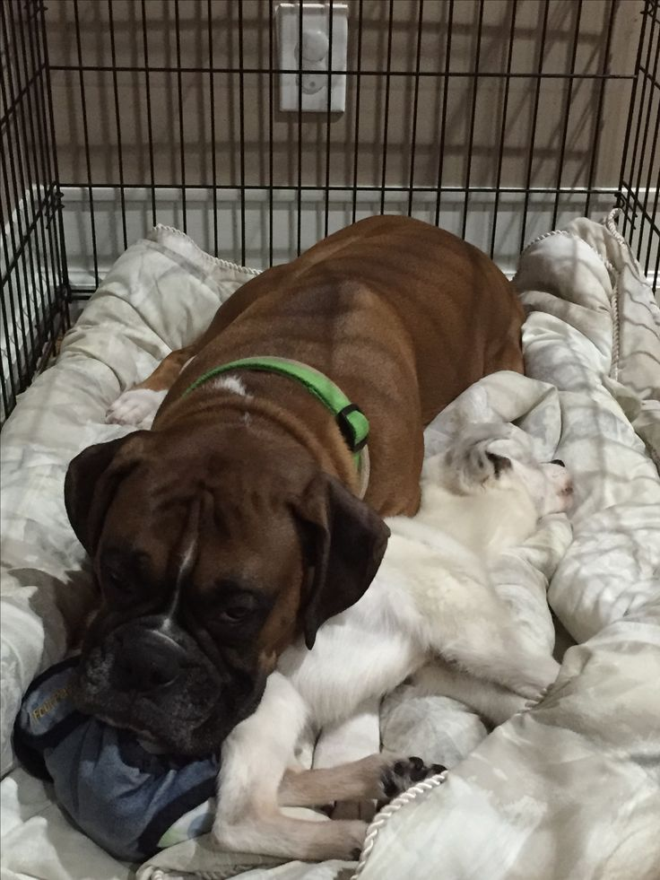 Stayed by his sister until the end😇 My Boxer Boys