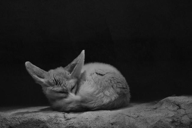 Fennec Fox by Kingdom Animalia, via Flickr