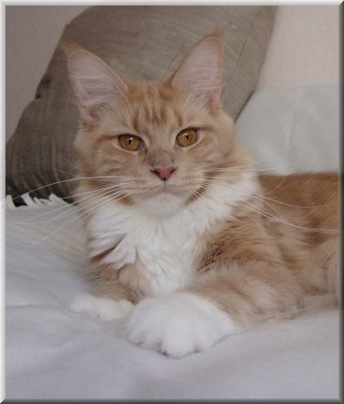#MaineCoon #Creme #Solid #White #Cats Belmicoon's Yellow Pearl