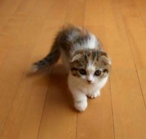 Munchkin, British Fold Kitten, things that make me go awwww