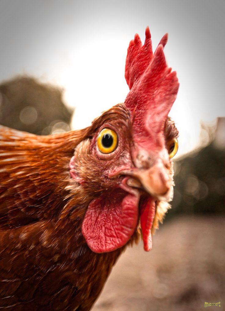 Смешная картинка курицы, нарисовать открытке днем