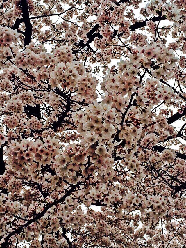A sky of Cherry Blossom - Kyoto, Japan