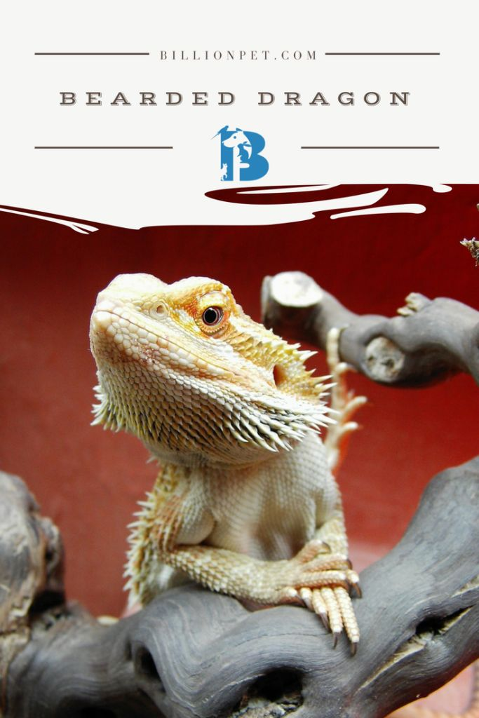 Everything you need to know about bearded dragon breeders and finding the best bearded dragons available. The process for picking out a bearded dragon can feel overwhelming at times, especially if you haven't searched for this kind of pet in the past.It's not that there are so few professional...