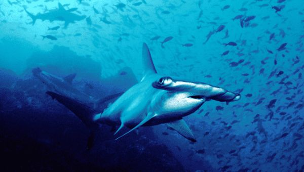 The hammerhead sharks grow as long as three meters (yards) and live for up to 50 years.  | Foto: Wikipedia