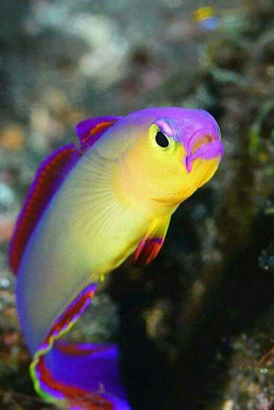 Purple and yellow fish