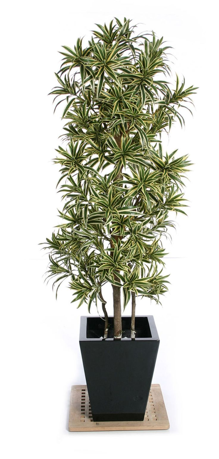 Dracaena Reflexa It Is Slow Growing And Upright In Habit Tending To An Oval Shape With Open Crown This Plant From Acacia Garden Center