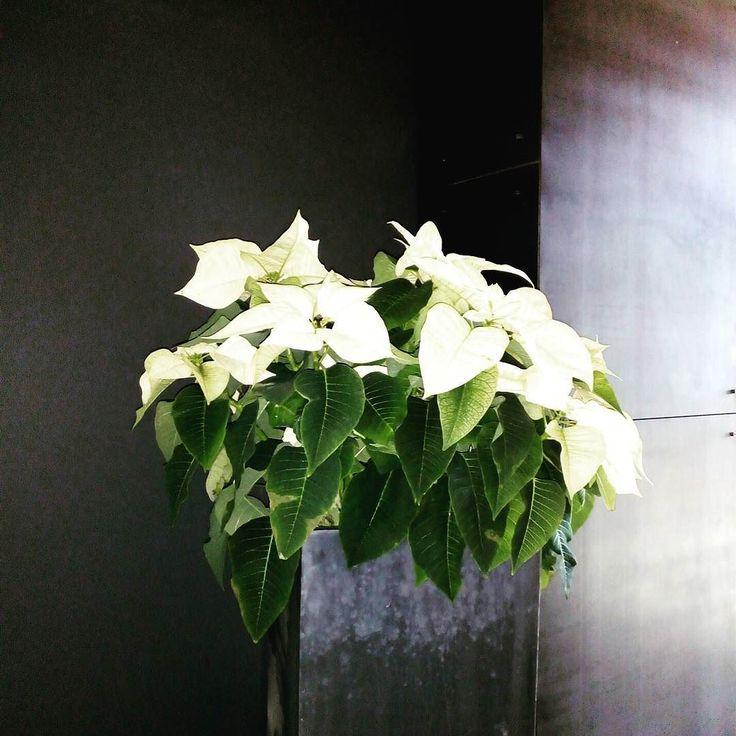 Jak piękne to jest? #Poisencja w naszym budynku.  #poisenttia #office #floraldesign #gwiazdabetlejemska #święta #wogrodzienajlepiej