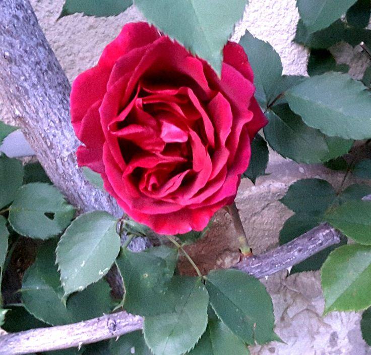 Rose dite de curé dont le parfum est une merveille !
