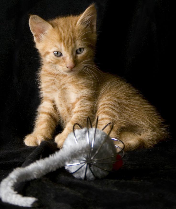 Ginger Kitten, by EVM Pet Photography | Yarra Valley, Melbourne
