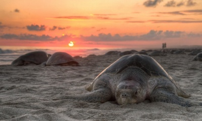Reptile, Turtle, Sunset Beach (click to view)