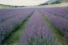 Lavendel is een winterharde, altijdgroene dwergstruik met in bundels rechtopstaande stengels. De stam vertakt zich in talrijke stengels die tot 60 cm hoog kunnen worden. De bladeren van lavendel zijn grijs-groen en lancetvormig. http://www.natuurlijkerwijs.com/lavendel.htm