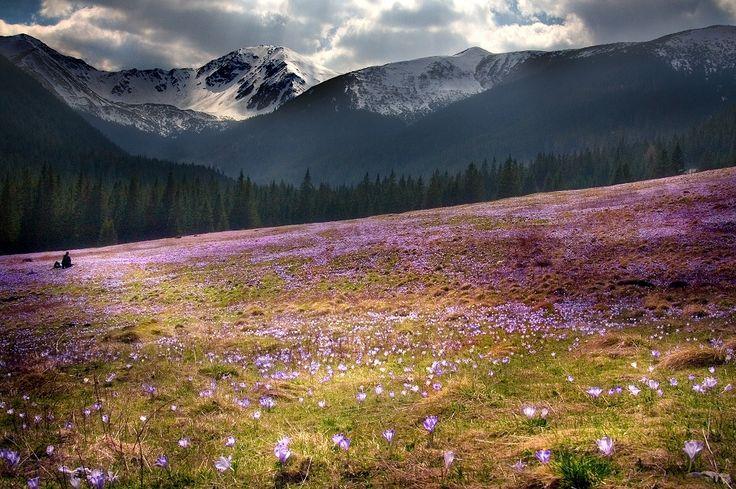 Krokusowe pola, czyli uroki wiosny w Tatrach (ZDJĘCIA)
