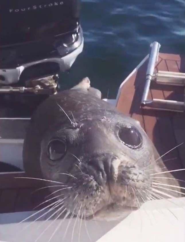 Hajóra menekült a gyilkos bálnák elől a kisfóka