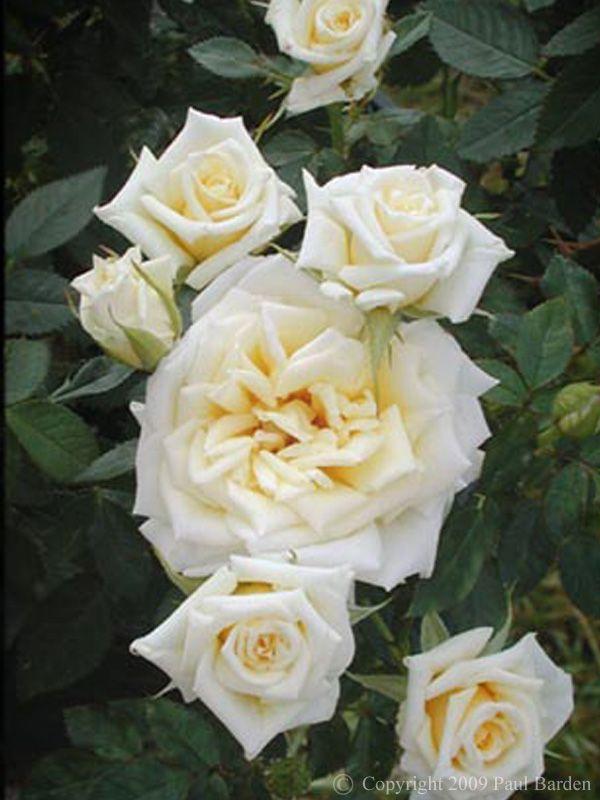 Lindsay Rose