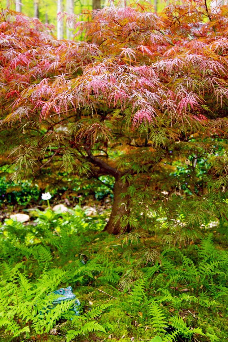 How to care for a fern leaf japanese maple - Beautiful Crimson Queen Japanese Maple Mr Frog Peeking Through The Ferns