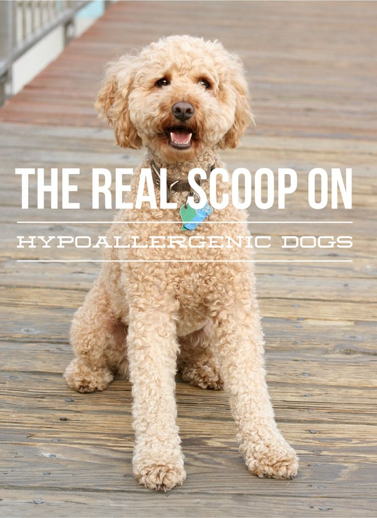 The Hypoallergenic Dog – What's the Real Scoop: There is no such thing as a hypoallergenic dog. There are only dogs that are less prone to firing up your allergies. This doesn't mean you can't have one!