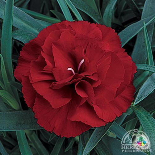 Plant Profile for Dianthus caryophyllus 'King of the Blacks' - Hardy Carnation Perennial