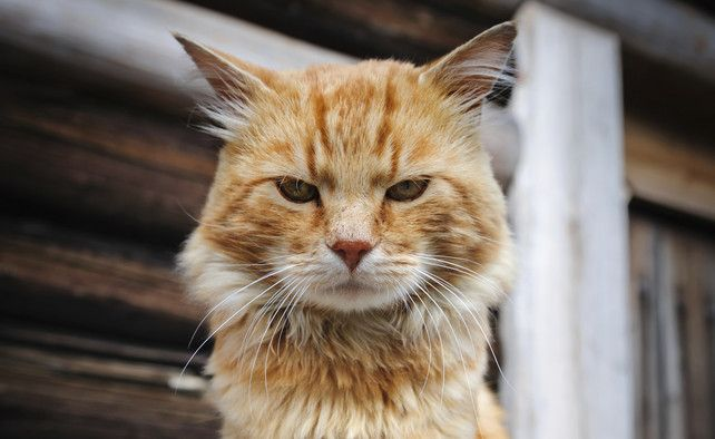 Opgepast met zilverfolie in de buurt van (oudere) katten | Wetenschap | De Morgen