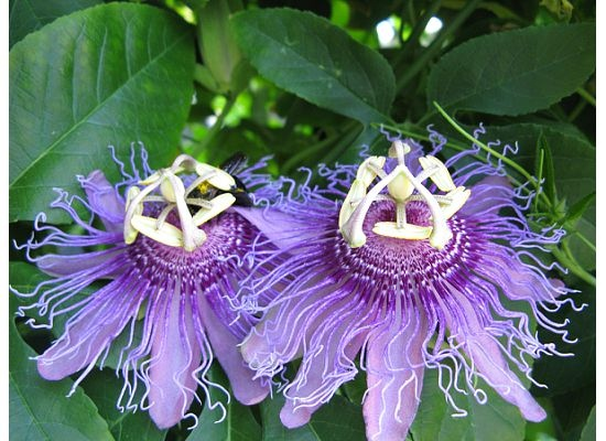 Passion flower  or Maypop■1 – Ten petals represent the ten apostles present at the crucifixion, Peter & Judas being absent;   2 – Corona or crown represents the crown of thorns or thought to be emblematic of the halo   3 – Five anthers suggestive of the five wounds or emblematic of hammers used to drive nails   4 – Three stigmas representative of the three nails piercing the hands & the feet.
