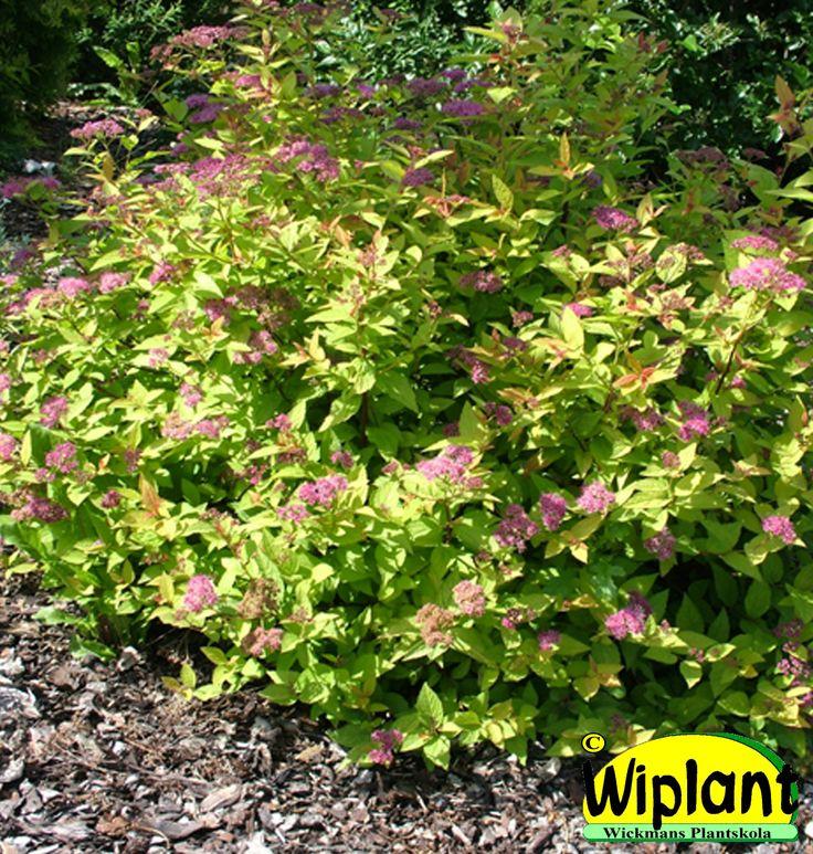 Spiraea jap. 'Firelight', Eldspirea. Unga blad orange-röda. Rosa blommor. Höjd: 0,5-0,8 m.