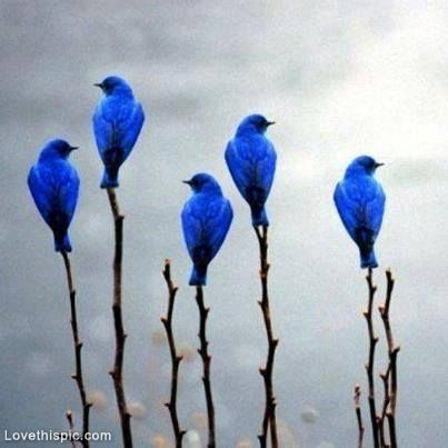 Pretty Blue Birds blue nature birds wildlife branch