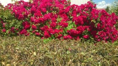 róża, róże paul scarlet  pnąca bardzo odporna!