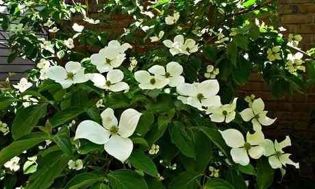 A cluster of flowering Cornus 'Gloria Birkett' near a brick wall
