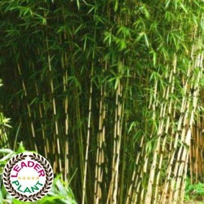 Le Fargesia robusta Campbell : un superbe bambou NON TRACANT polyvalent      LeBambou Fargesia robusta Campbellpossède leLabel Leaderplant. C'est une excellente variété de bambou non traçant très appréciée par les paysagistes. LeFargesia robusta Campbellpermet en effet de faire de belles haies brise-vue, brise-vent, aussi bien en exposition ombragée qu'ensoleillée. Il a un port dressé et peut atteindre 3 ou 4m de haut.     En exposition ensoleillée, il faut veiller à bien l...